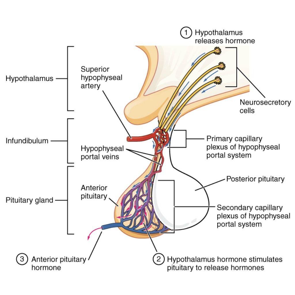 Pituitary (illustrations) | Radiology Case | Radiopaedia.org ...