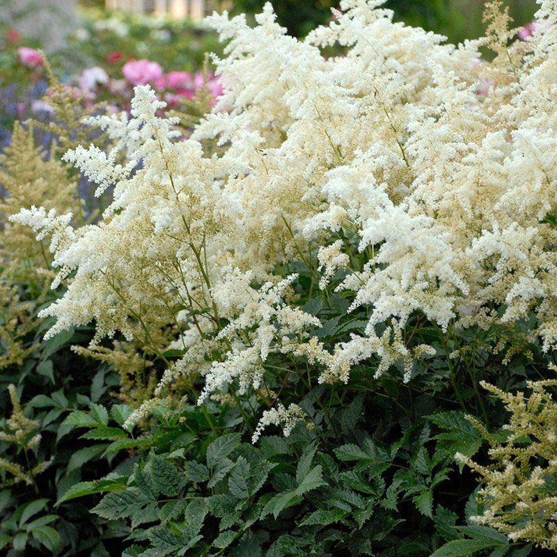 Deutschland Astilbe S Pure White Plumes Are Lovely In The Moonlight And Can Brighten The Shade Garden With Grace Deer Resistant Perennials Astilbe Perennials