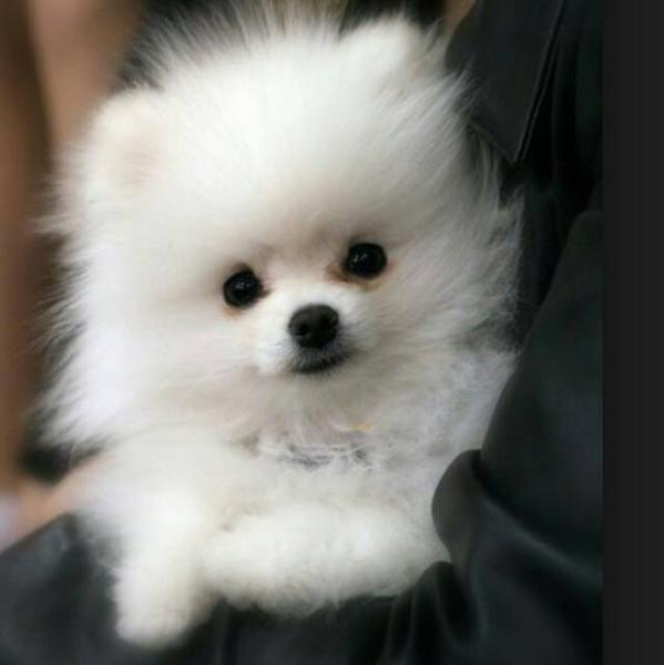 Pomeranian Zwergspitz Teacuppomeranianpuppy Pomeranian Puppy Pomeranian Puppy Teacup White Pomeranian Puppies