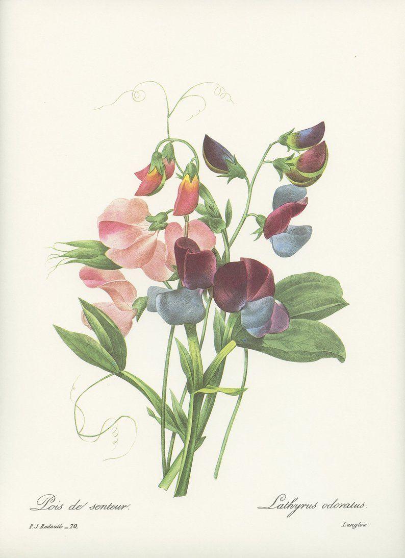 PERENNIAL ANEMONE Color Art Lithograph 1991 Vintage REDOUTE BOUQUET #7 PANSY