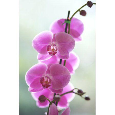 Hawaii Kauai Pink Orchids On Studio Background Canvas Art - Kicka Witte Design Pics (11 x 17)