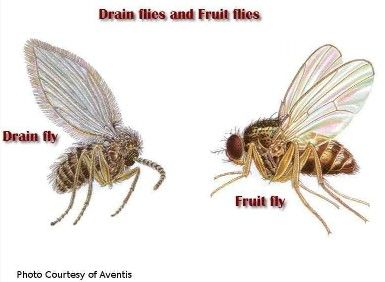 Why Are There Fruit Flies In My Bathroom Sink