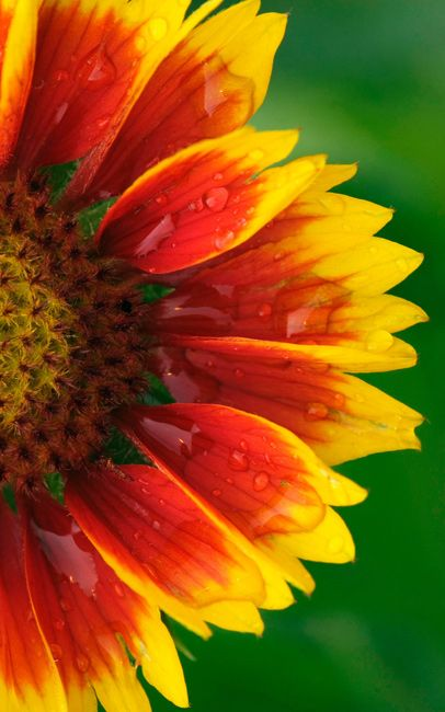 Beautiful yellow flower close up beautiful flowers wallpapers blanket flower flowers wallpapers flowers hd wallpapers free flowers wallpapers free download voltagebd Image collections
