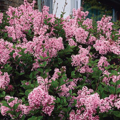 Josee Reblooming Lilac Lilac Bushes Plants Beautiful
