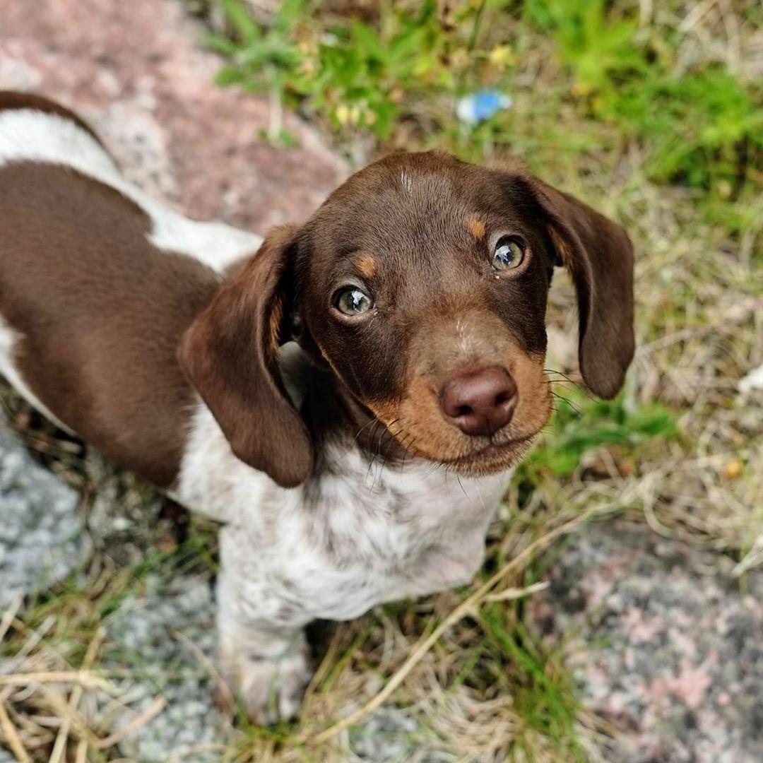 Beautiful dachshund puppy 💖 via taxen.nisse on