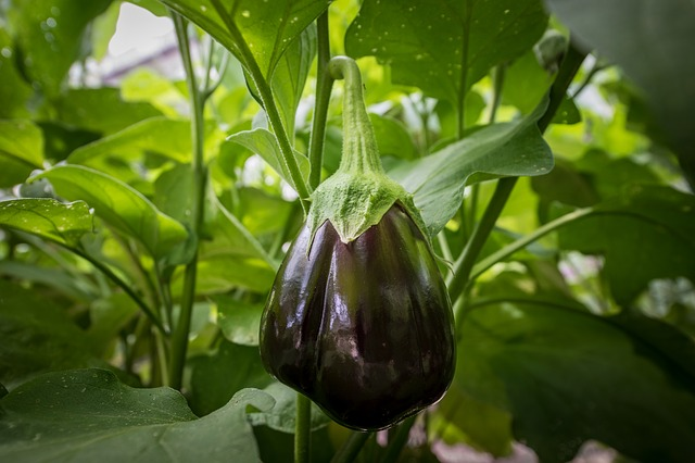 How To Grow Eggplant A Beginners Guide Summer Vegetables Garden Growing Eggplant Planting Herbs