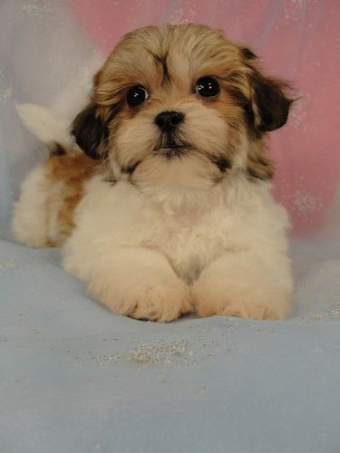 Shih Tzu Bichon Teddy Bear Puppies For Sale I Am In Love With