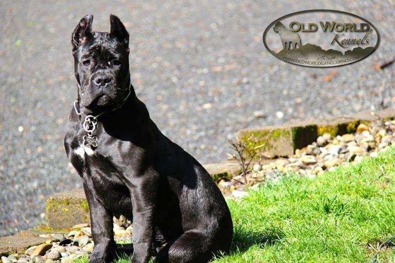 Old World Cane Corso Gallery Cane Corso Cane Corso Puppies Dog Breed Info