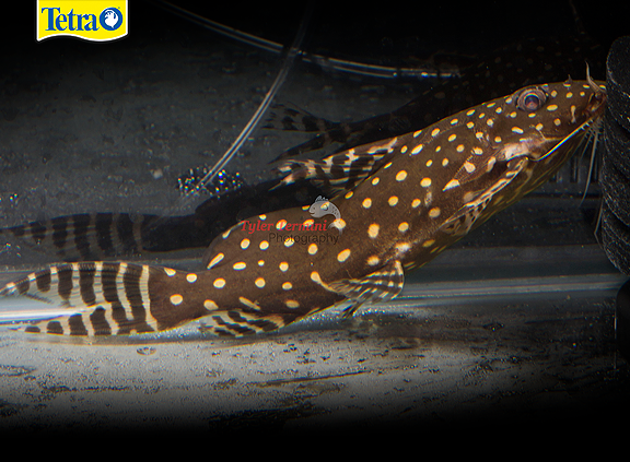 Synodontis Angelicus This Catfish Species Prefers Sandy Substrate And Plenty Of Places To Hide Angelicus Will Not T Catfish Aquatic Animals Freshwater Fish