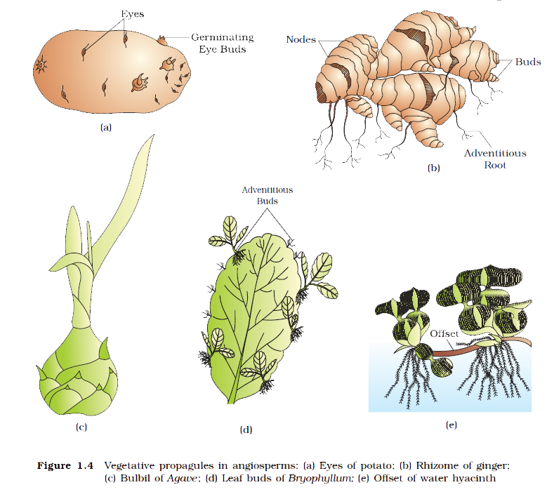 Asexual Reproduction in Plants | Study Material - Science ...