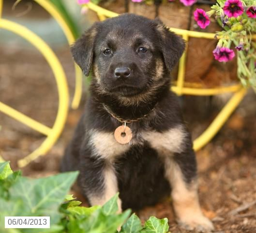 Bowser German Shepherd Lab Puppy For Sale In Ronks Pa German