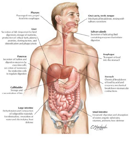 Digestive System Diagrams Stomach Pics Human Digestive System Digestive System Colon Cleanse Detox