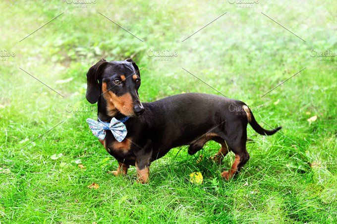 Miniature Dachshund Wearing Bow Tie With Images Miniature