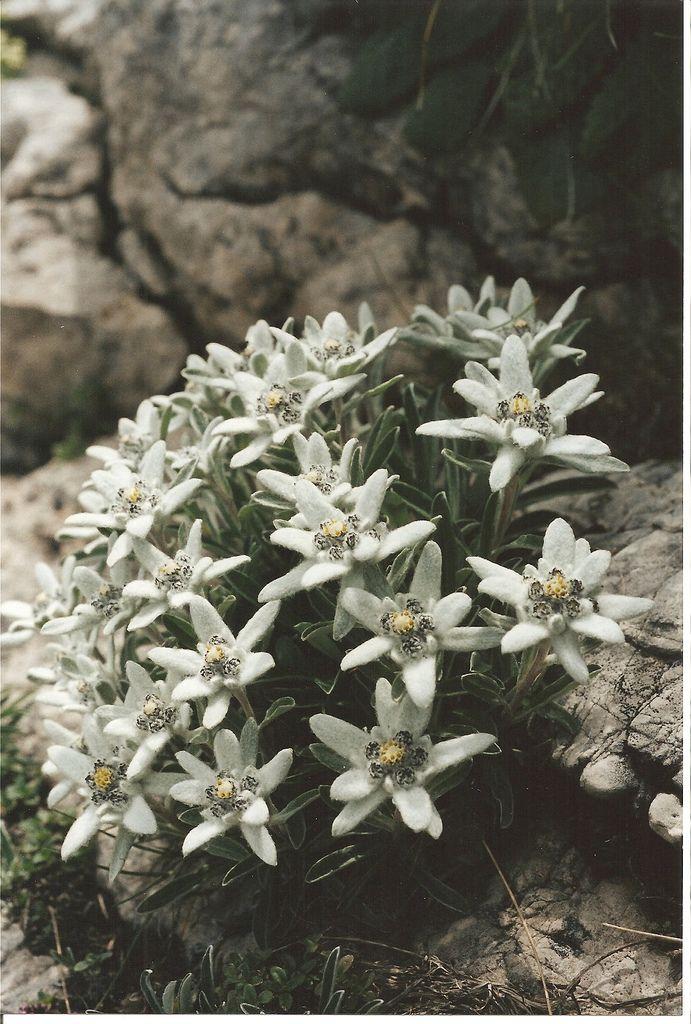 Fiori Bianchi A Stella.Leontopodium Alpinum Stella Alpina Edelweiss Etoile Des Alpes