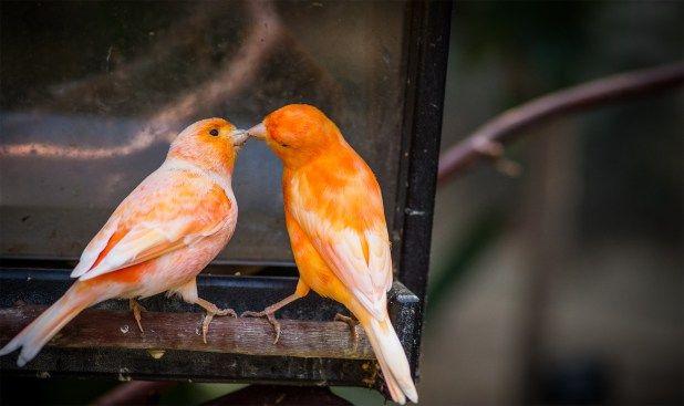 تجهيز الكناري للتزاوج كيفية اعداد الطيور لموسم انتاج ناجح طيور العرب Canary Birds Bird Species Weird Animals