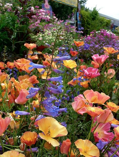 california poppies and penstemon, unknown source on tumblr