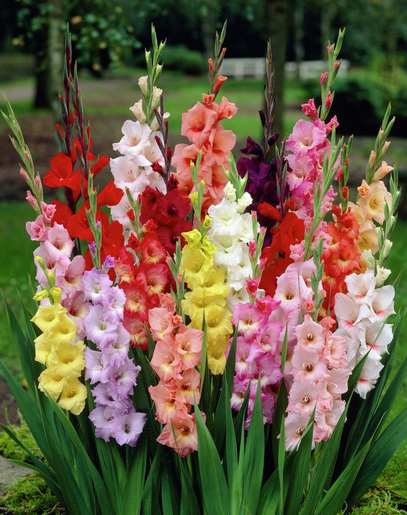 Gladiolus - Dig up the corms for winter storage before the first frost. Clean off corms, cut the stalk within half an inch of the corm, and let them cure for one to two weeks in a warm, airy location. Once dried, remove and discard the old corm as well as any small cormels. Store the large, new corms in plastic mesh bags in a well-ventilated room where temperatures remain from 35 to 50 degrees F. Plant gladiolus corms again in spring for another year of beautiful blooms.
