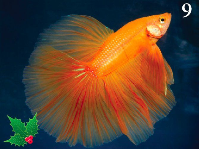 Aquarium fishes names and pictures pfk advent calendar for Beta fish names