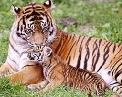 Stop Murdering Tigers for Your Entertainment!