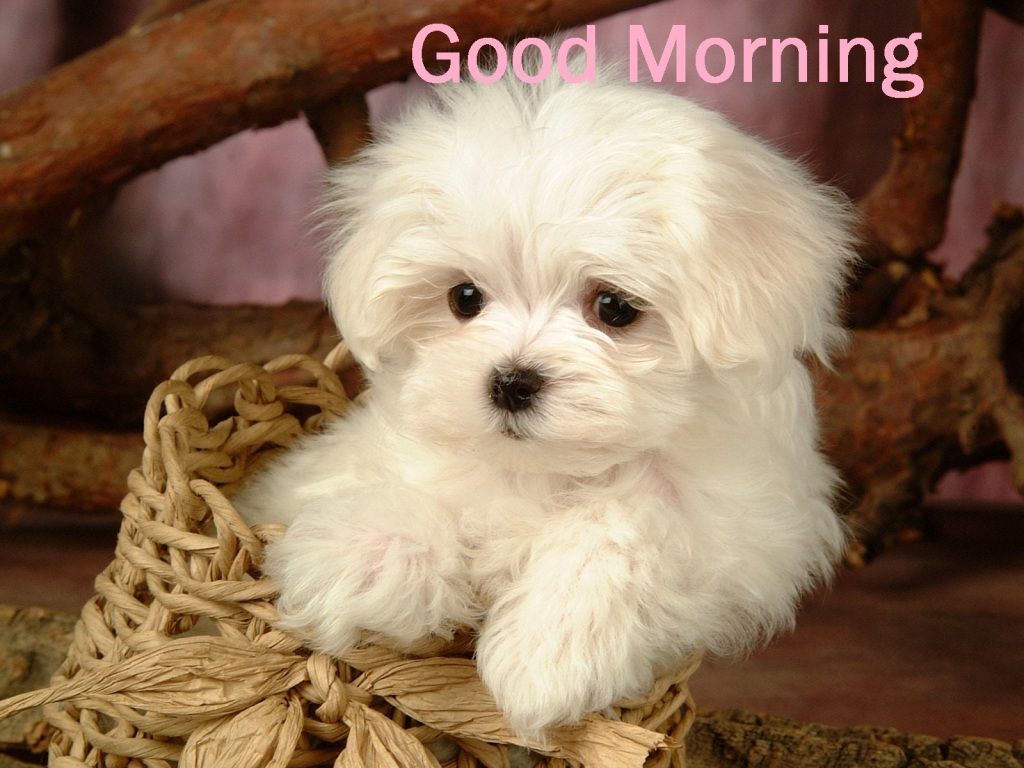 Good Morning White Puppy Images Good Morning Quotes Pinterest