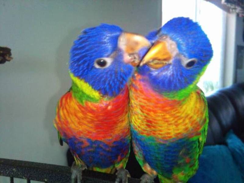 Hand Raised Rainbow Lorikeets Gumtree Australia Rainbow Color