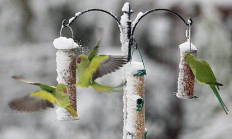 Google Image Result for http://static.guim.co.uk/sys-images/Guardian/Pix/pictures/2010/1/12/1263319247779/Parakeets-feed-on-snow-co-001.jpg