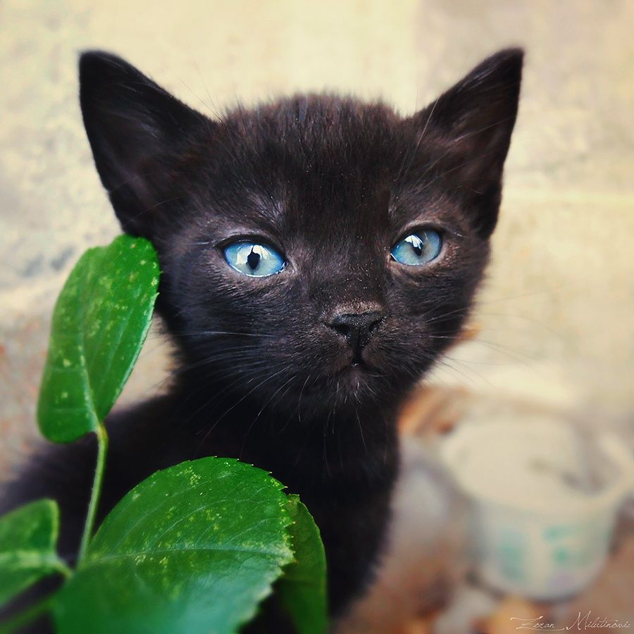 One Of The Most Cutest Kitten That I Saw When He Grows Up His Eyes Will Change Color He Is Still Young That S Why He Has Thi Crazy Cats Cats