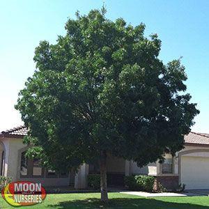 Best Shade Trees For Arizona