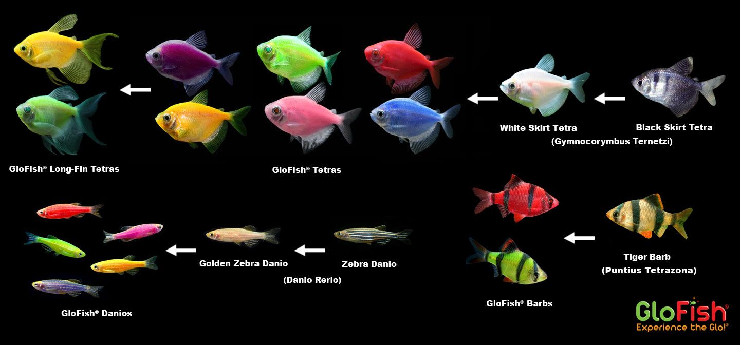 Curious About The Origins Of Glofish You Can Learn More Here