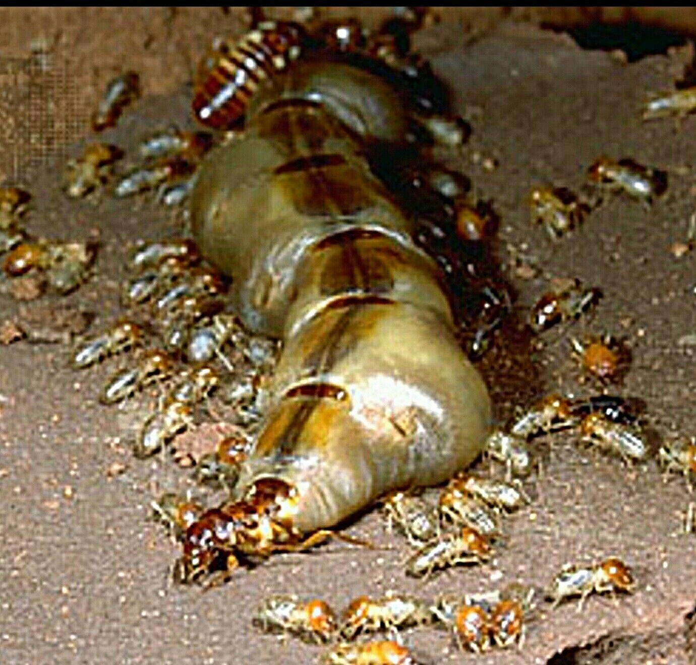 Termite Queen Ant Queens Bee Queens Pinterest Insects Ants