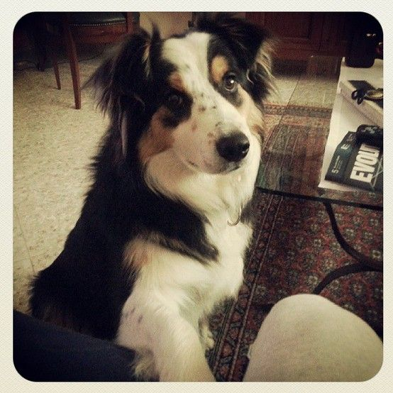 Do you have something interesting for me? - Artù Border Collie Tricolor