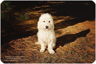 Cincinnati Oh Cockapoo Mix Meet Gidget Waived Fee A Dog For Adoption Http Www Adoptapet Com Pet 17059723 Cincinnati Ohio C Cockapoo Pets Dog Adoption