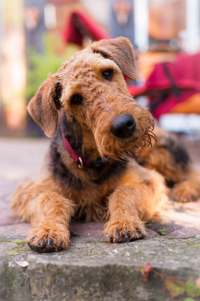 Pin By Rachel C On Photography Pets With Images Airedale Terrier Lakeland Terrier Terrier