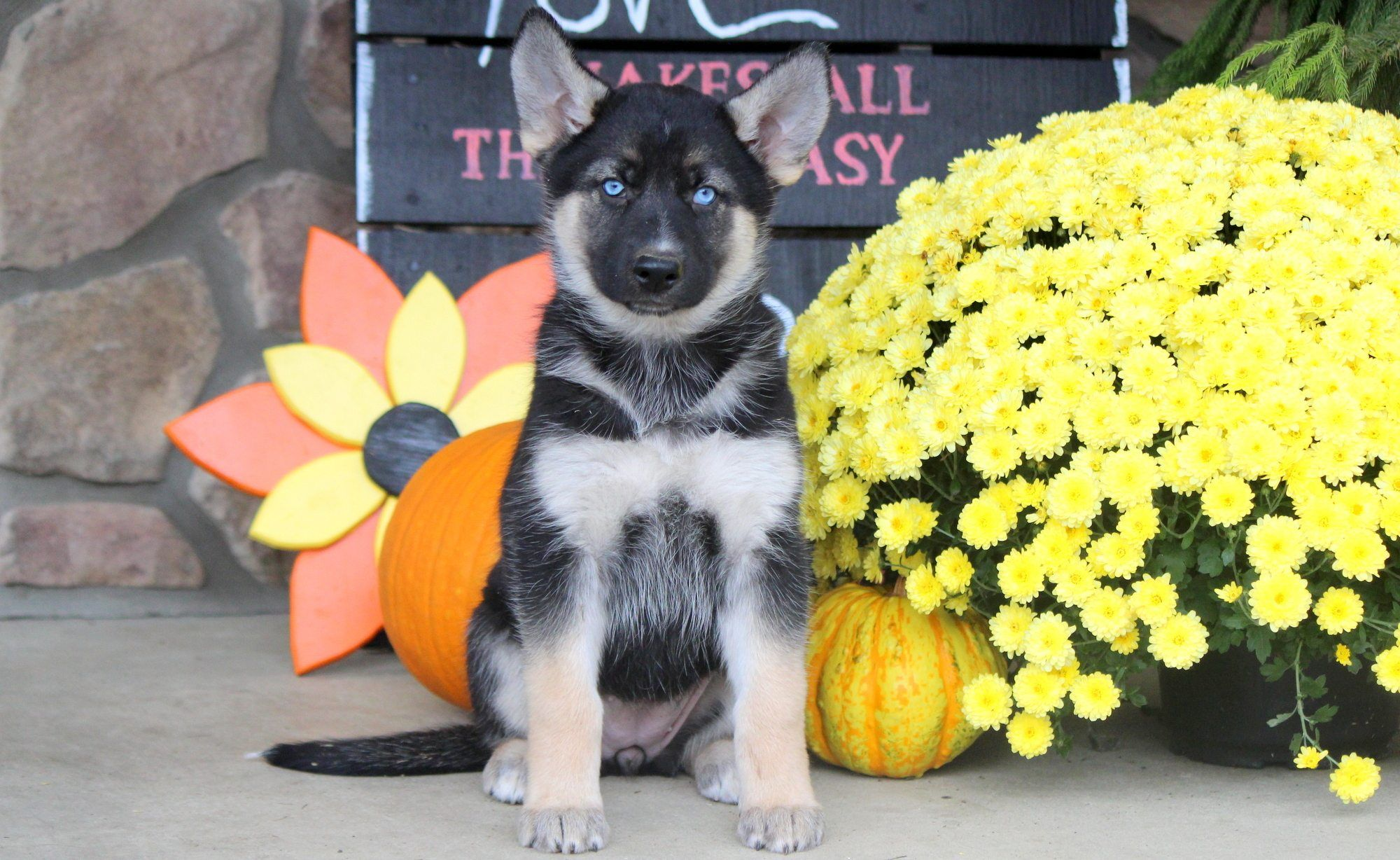 Gerberian Shepsky Puppies For Sale Puppy Adoption Keystone