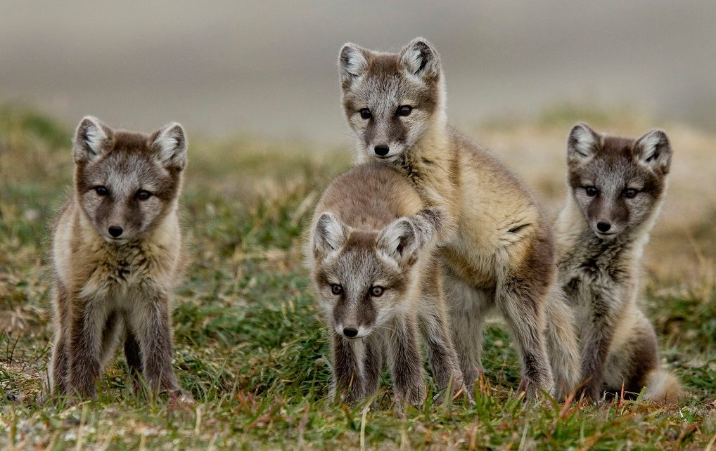What Animals Live in the Arctic? 5 Arctic Wildlife You May