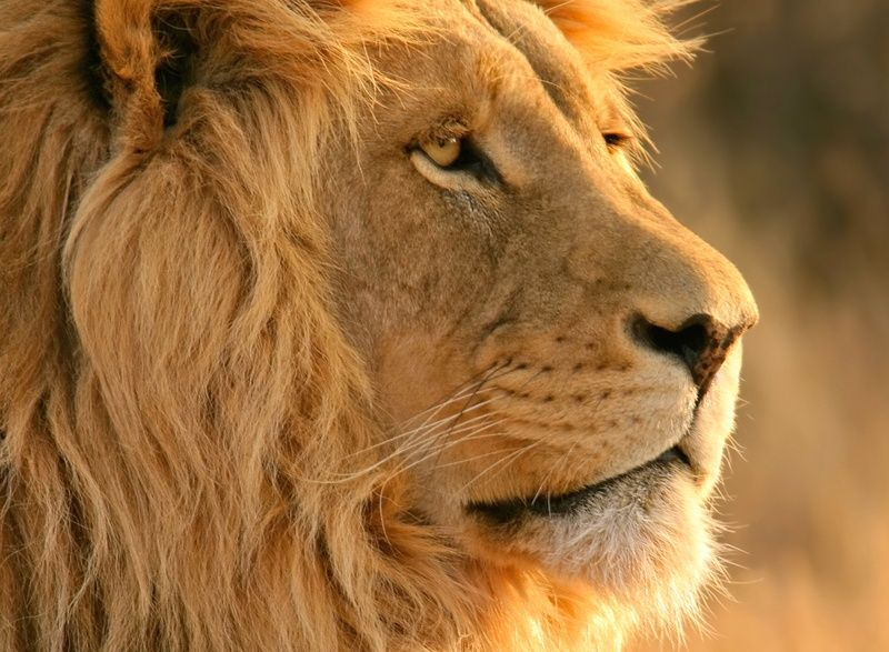 Deadly Lion Attack Confounds Dallas Zoo Officials Lion Wallpaper Lion Pictures Male Lion