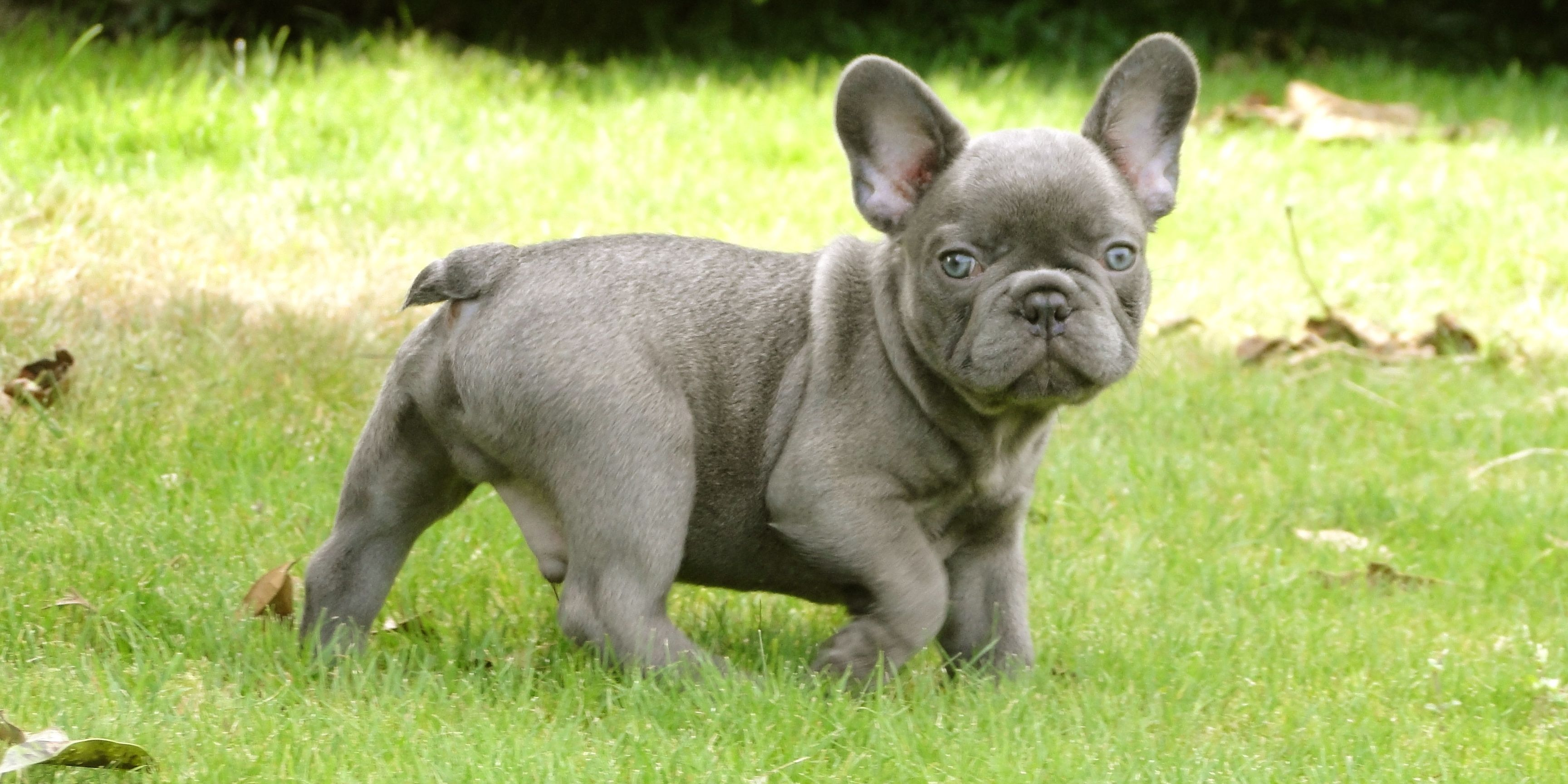 Grey French Bulldog Puppy
