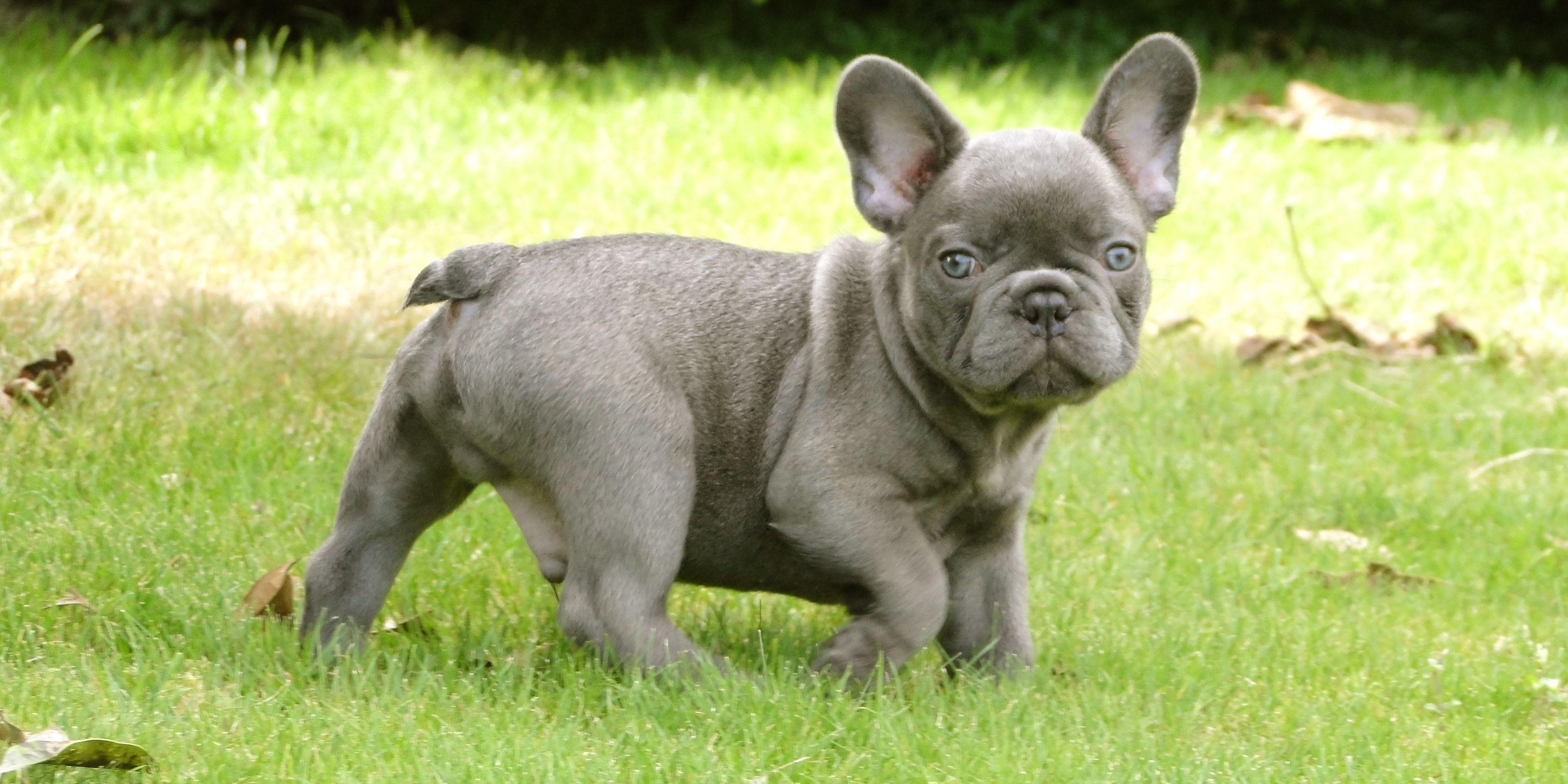 Pics Blue Grey English Bulldogs