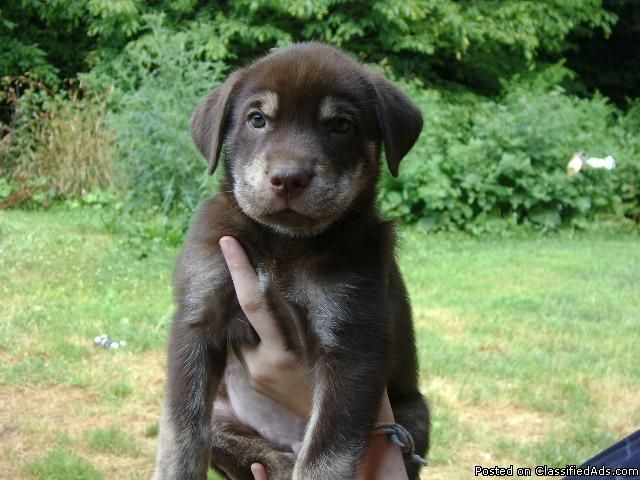 Chocolate Rottweiler Lab Mix Puppies Lab Puppies Lab Mix Puppies Puppy Dog Pictures