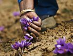 Folha de S.Paulo - BBC Brasil - Fotógrafo retrata plantio de 'tempero mais caro do mundo' na Caxemira - 27/12/2013