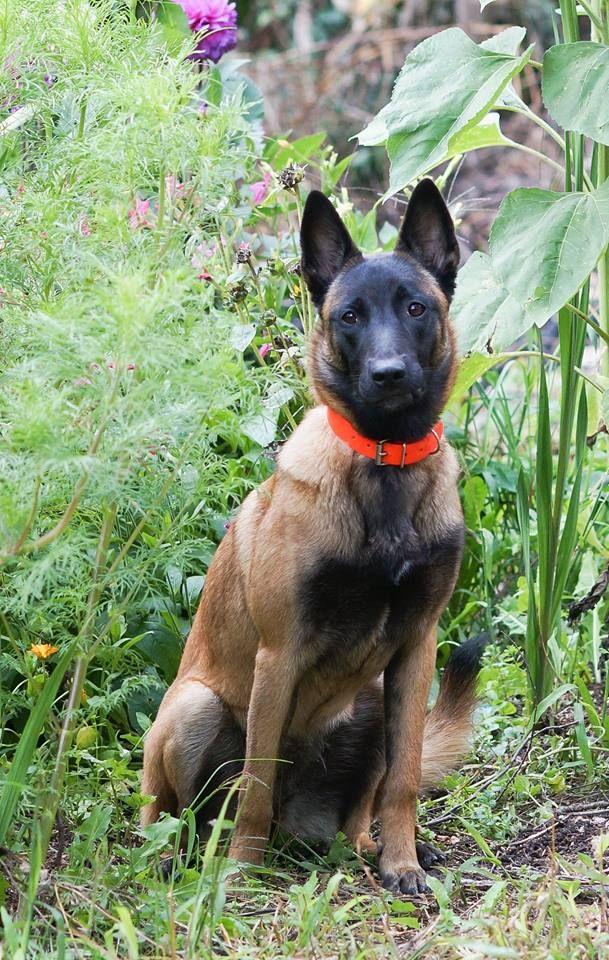 Boccia Vd Flammenbrut Belgischer Schaferhund Schaferhunde Hunde