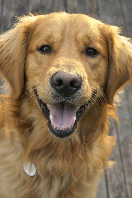 Happy Golden Face Golden Retriever Dogs Dogs Golden Retriever