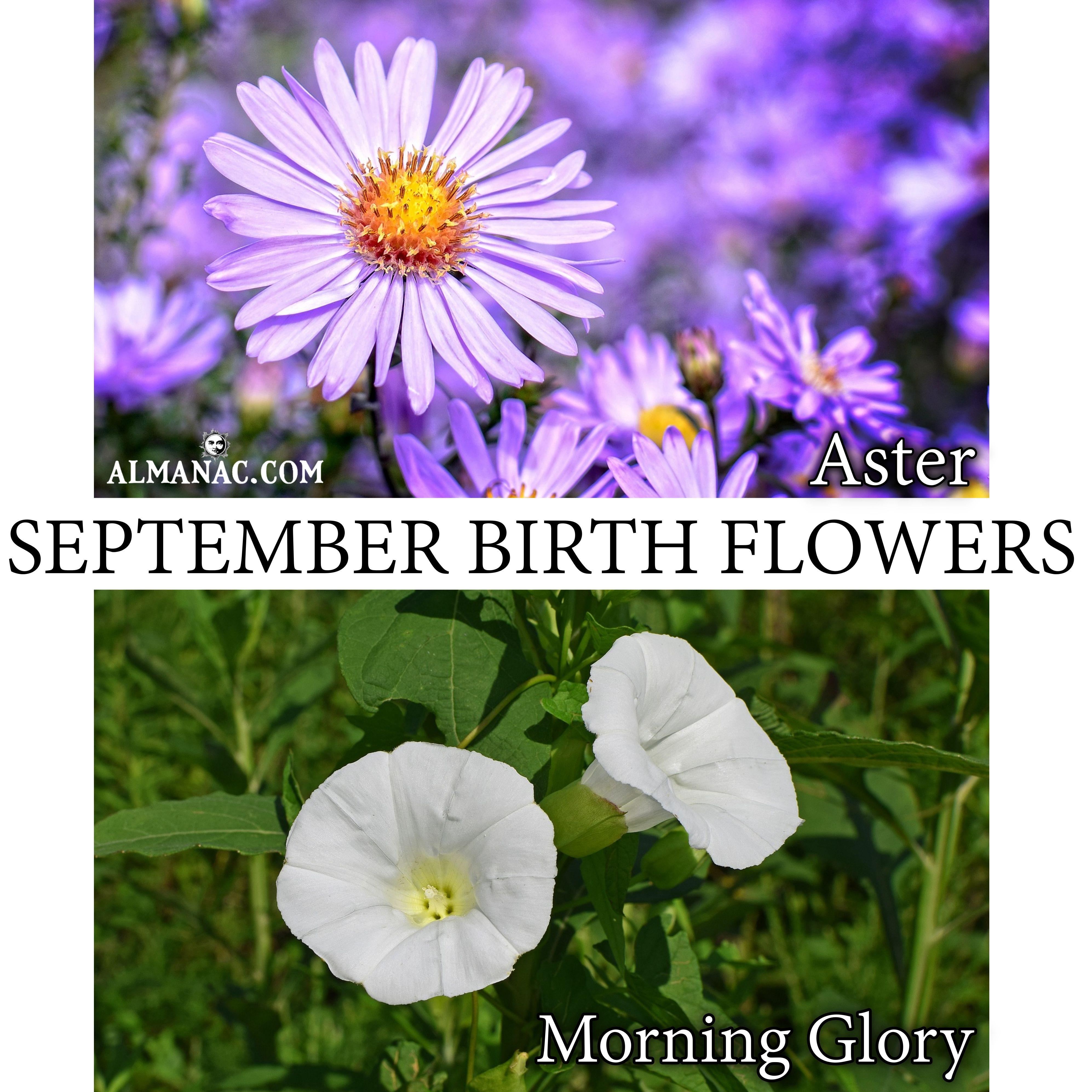 September Birth Flowers Birth flowers, September birth