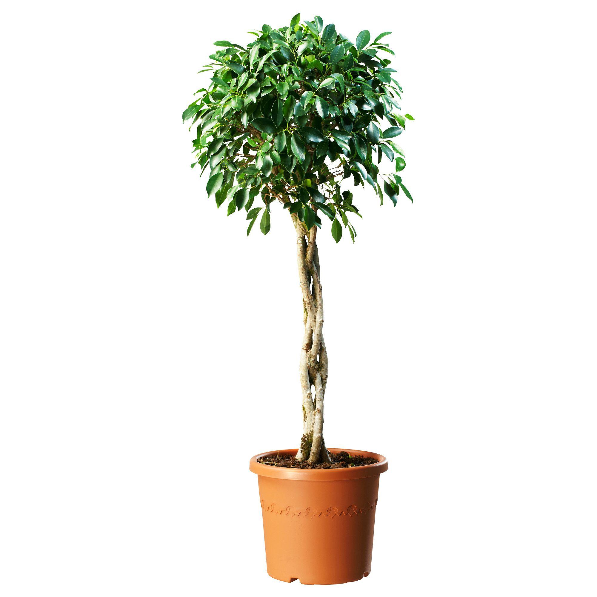 FICUS NITIDA Plante | Til det nye hus | Pinterest | Ikea, Potted Plants og Plants
