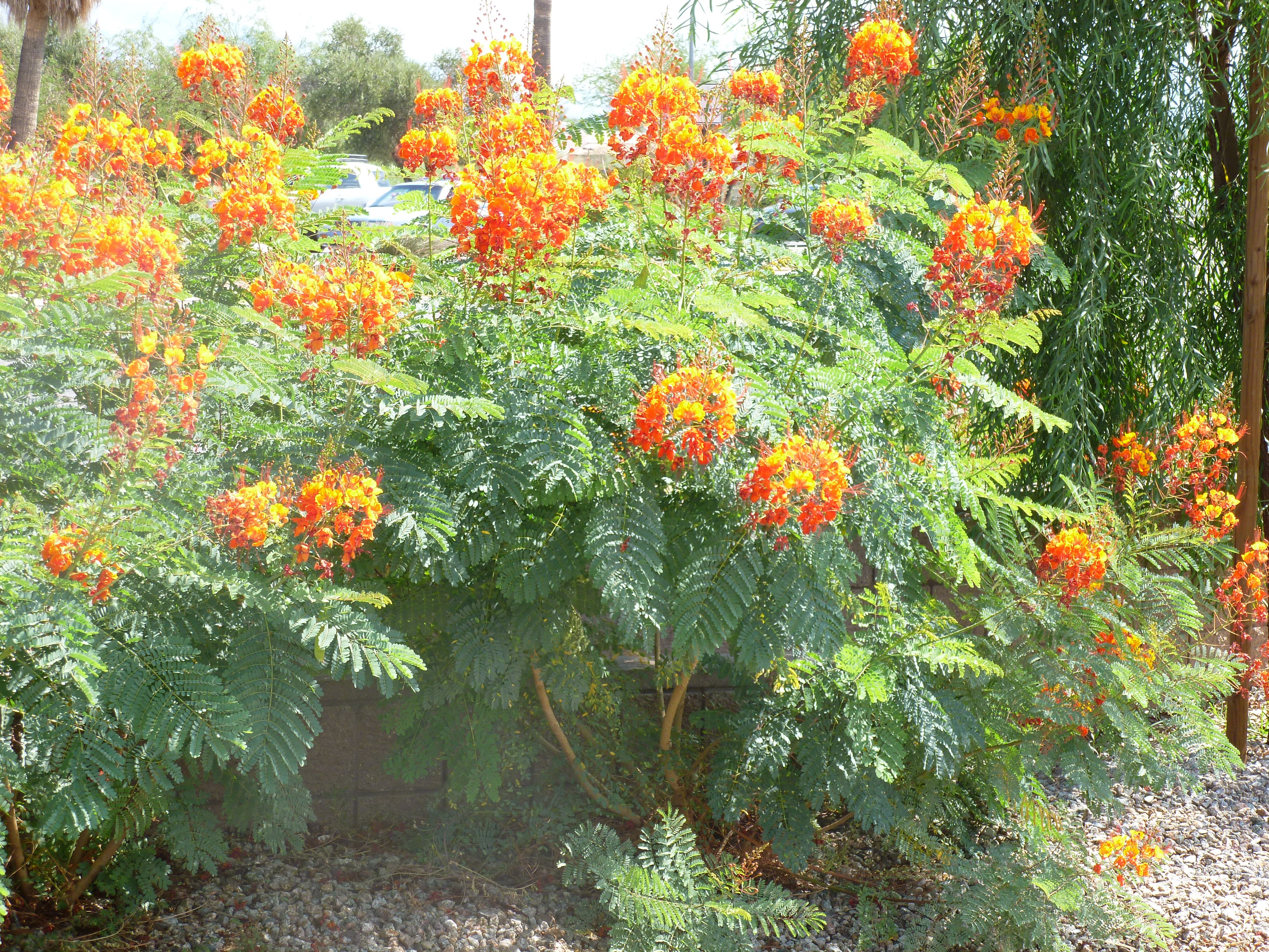 Plants Bush With Red Orange And Yellow Flowers In Arizona Red