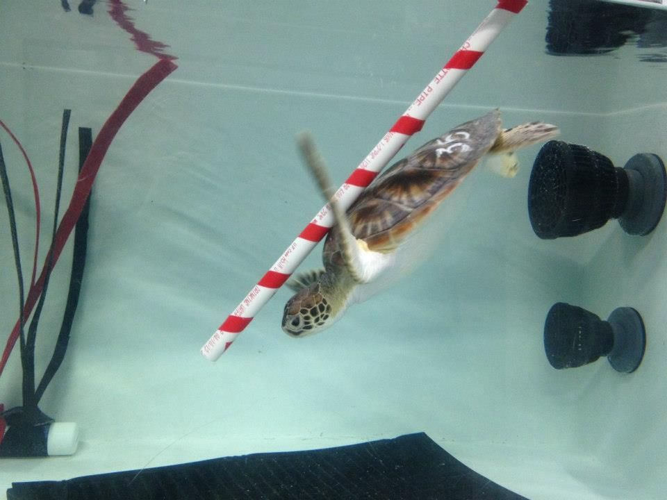 Sea turtle with candy cane