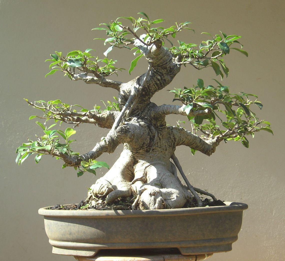 Bonsai de figueira google search arvore zinha linda for Most expensive bonsai tree ever