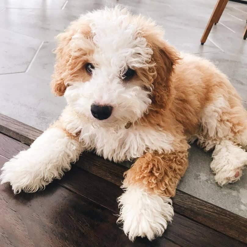 Mini Bernedoodle Puppies Home References