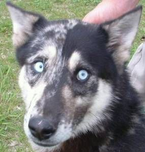 Community Dogs Blue Heeler Siberian Husky