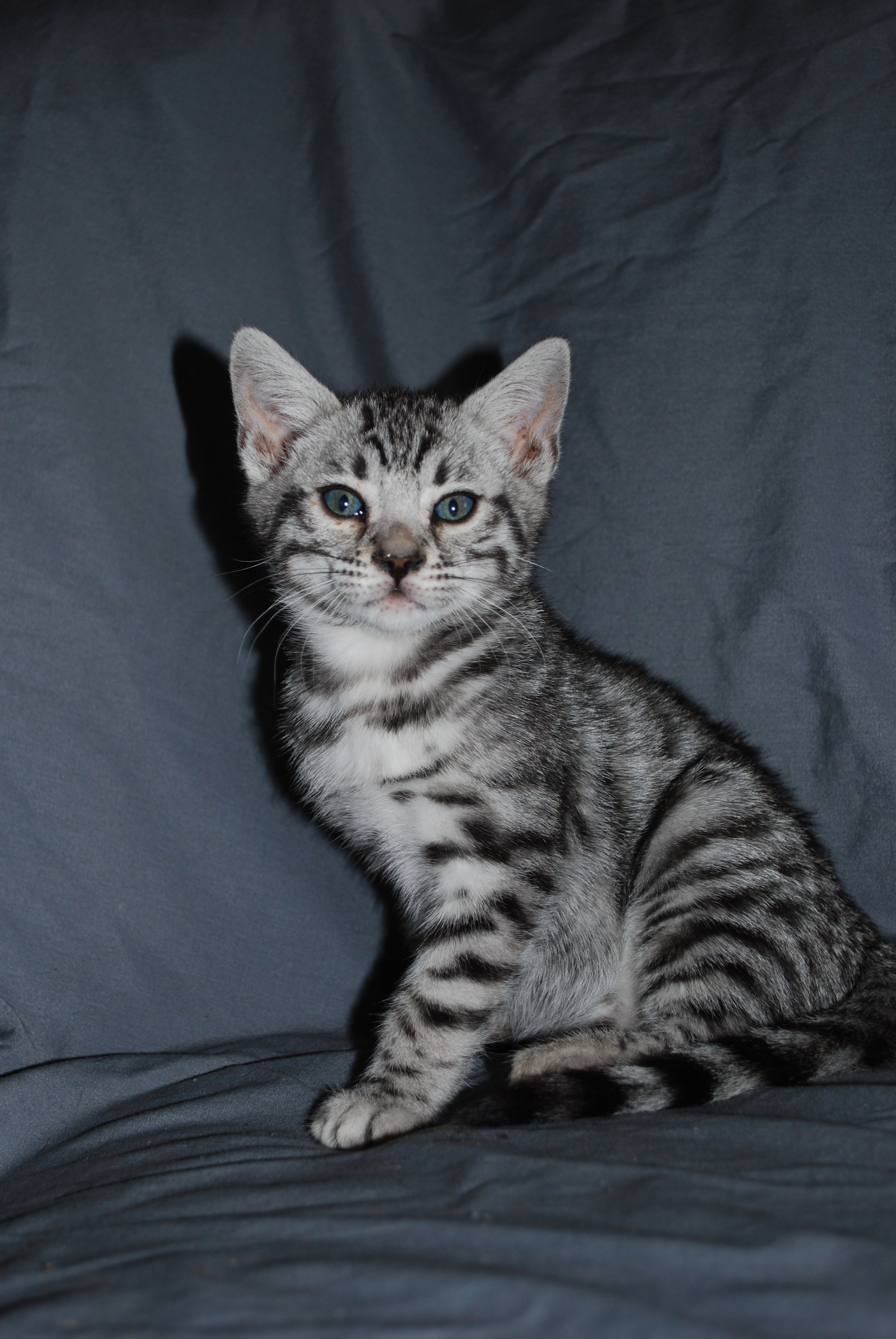 Pin By Gabriella On Beautiful Bengals And Cats Bengal Kitten Bengal Cat Silver Bengal